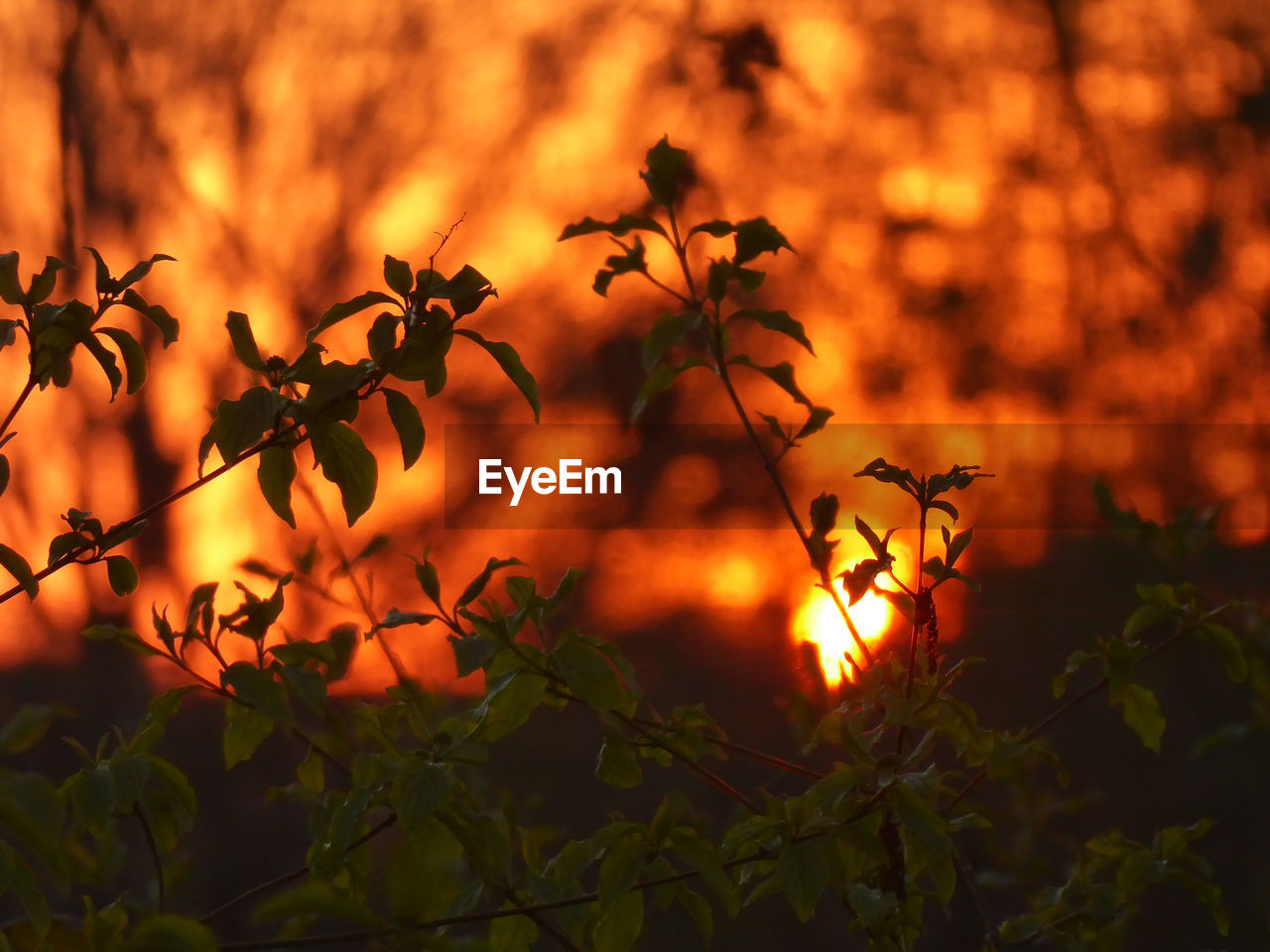 orange color, plant, plant part, leaf, nature, no people, growth, beauty in nature, close-up, sunset, focus on foreground, tree, outdoors, autumn, tranquility, night, glowing, change, sky, burning, leaves