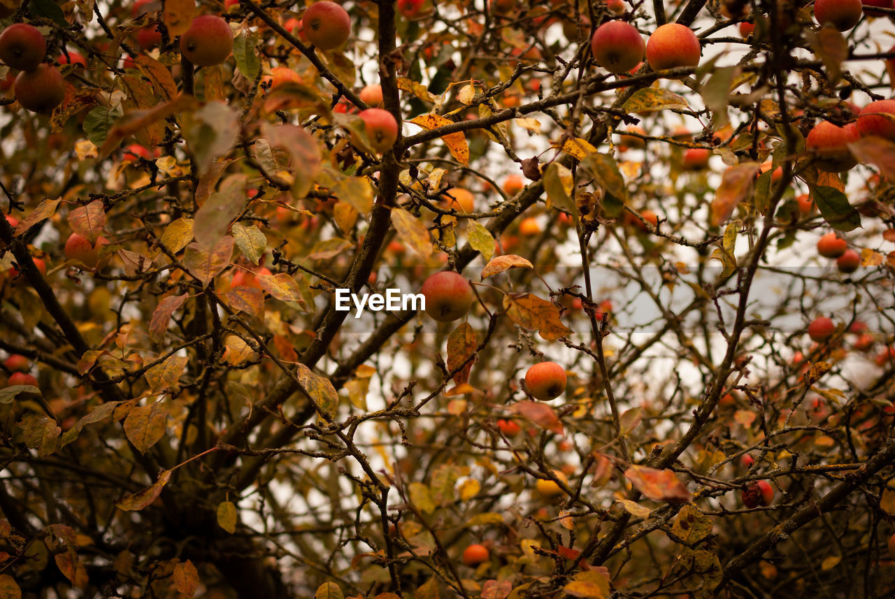 tree, fruit, healthy eating, branch, food, food and drink, plant, growth, nature, autumn, no people, day, freshness, fruit tree, focus on foreground, outdoors, orange color, low angle view, beauty in nature, wellbeing, change, rowanberry