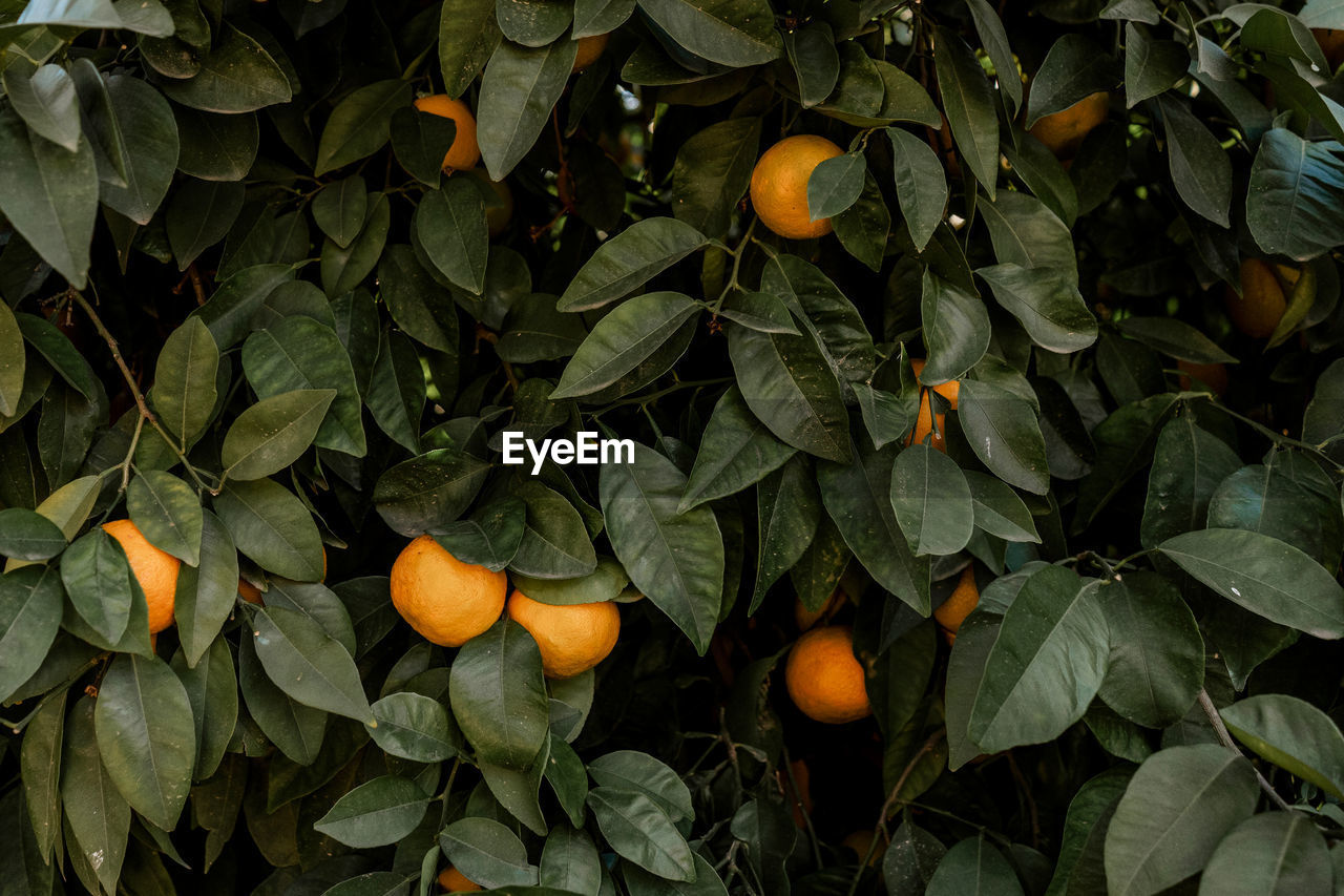 leaf, plant part, food and drink, food, healthy eating, fruit, growth, orange color, citrus fruit, freshness, orange, green color, orange - fruit, nature, plant, close-up, wellbeing, outdoors, fruit tree, day, no people