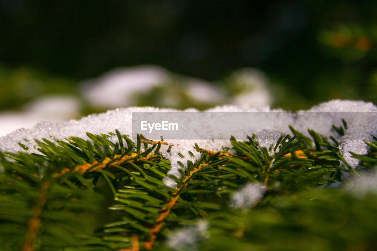 plant, cold temperature, selective focus, leaf, close-up, snow, beauty in nature, nature, plant part, growth, no people, green color, winter, day, ice, tree, frozen, tranquility, focus on foreground, outdoors, leaves, coniferous tree, fir tree