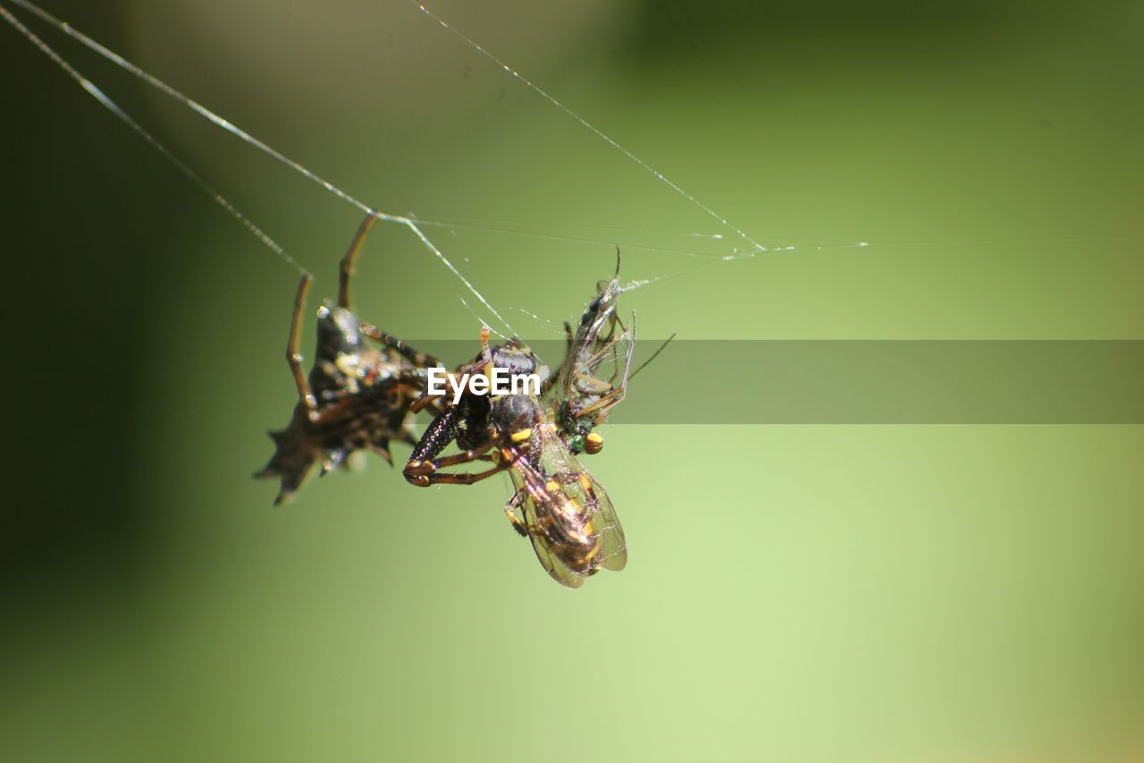 animal wildlife, animals in the wild, animal, invertebrate, insect, animal themes, close-up, one animal, spider web, fragility, arachnid, spider, survival, arthropod, no people, day, nature, animals hunting, selective focus, zoology, outdoors, animal leg, web