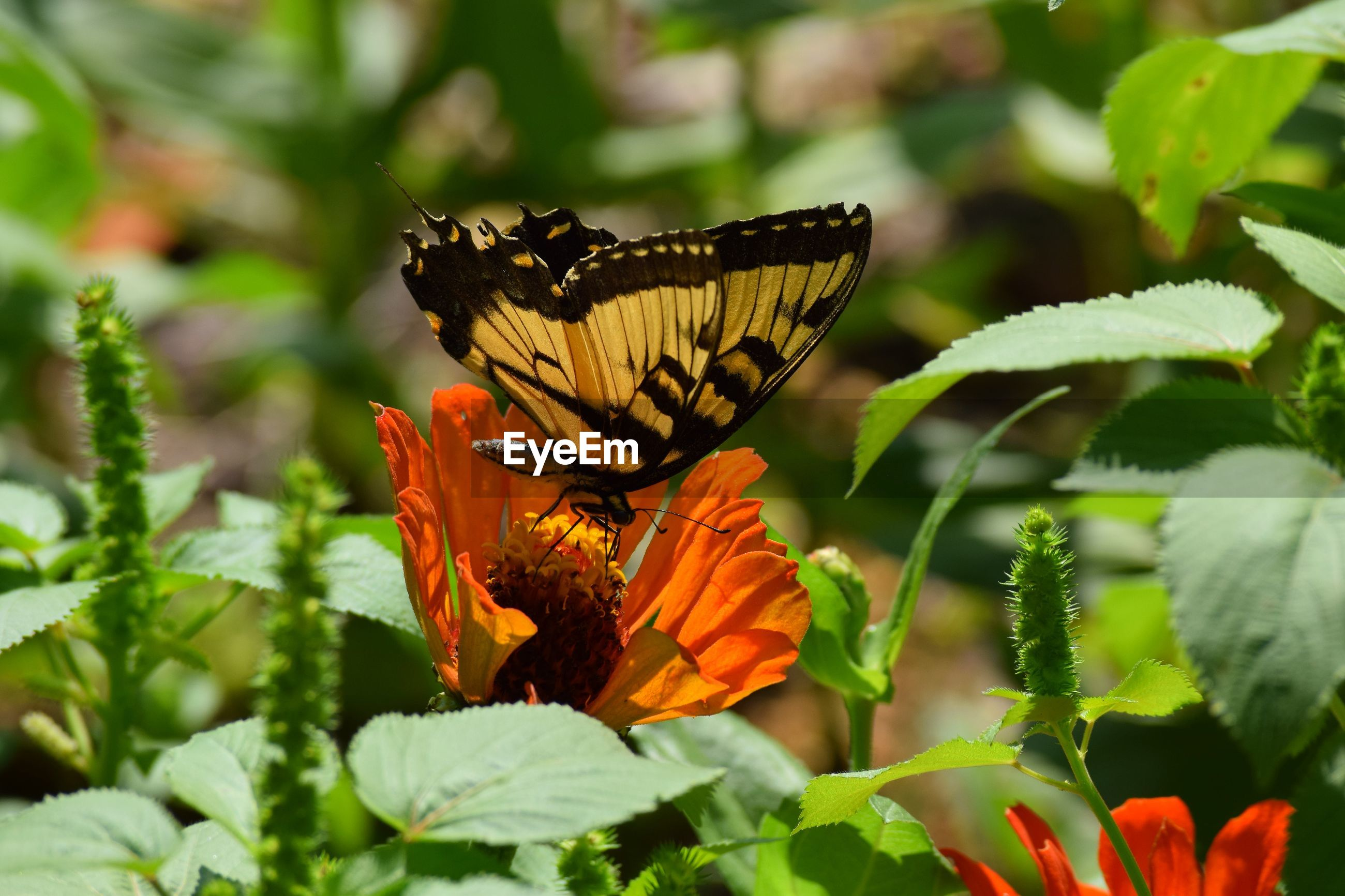 Close-up of butterfly pollinating on orange flower