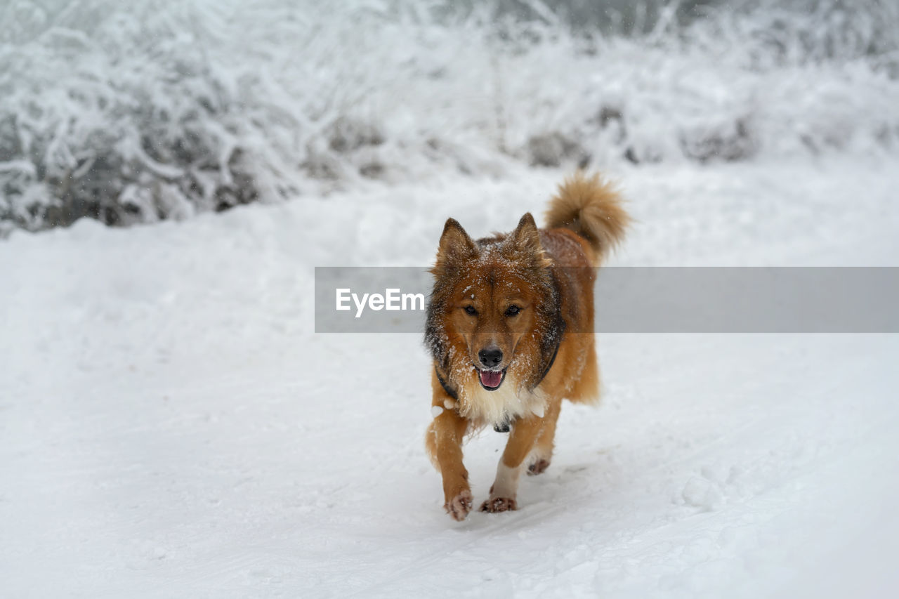 snow, cold temperature, canine, dog, winter, pets, one animal, mammal, animal themes, domestic, domestic animals, animal, vertebrate, land, nature, field, white color, no people, day, outdoors, purebred dog