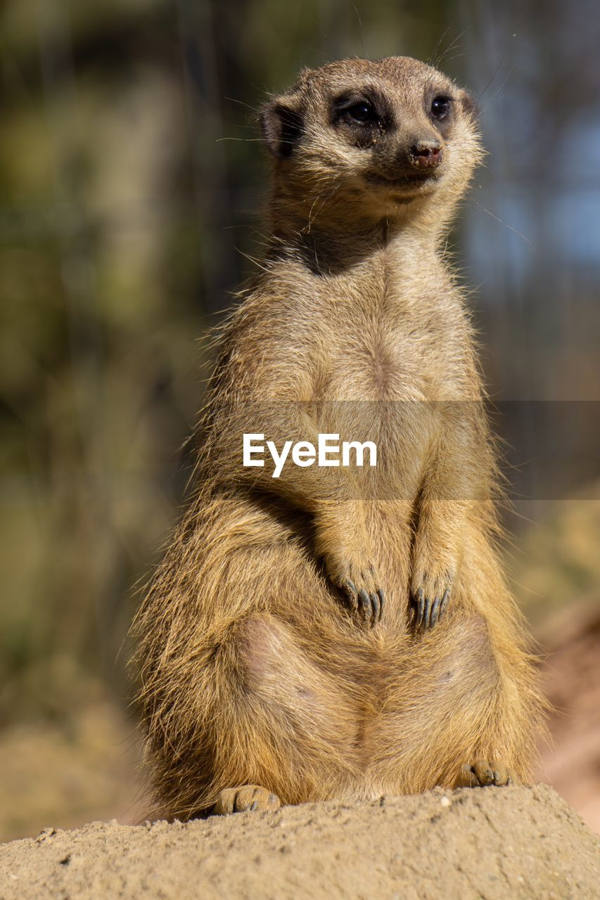 animal wildlife, animals in the wild, mammal, one animal, focus on foreground, no people, vertebrate, meerkat, sitting, day, looking, nature, outdoors, rock - object, looking away, land, close-up