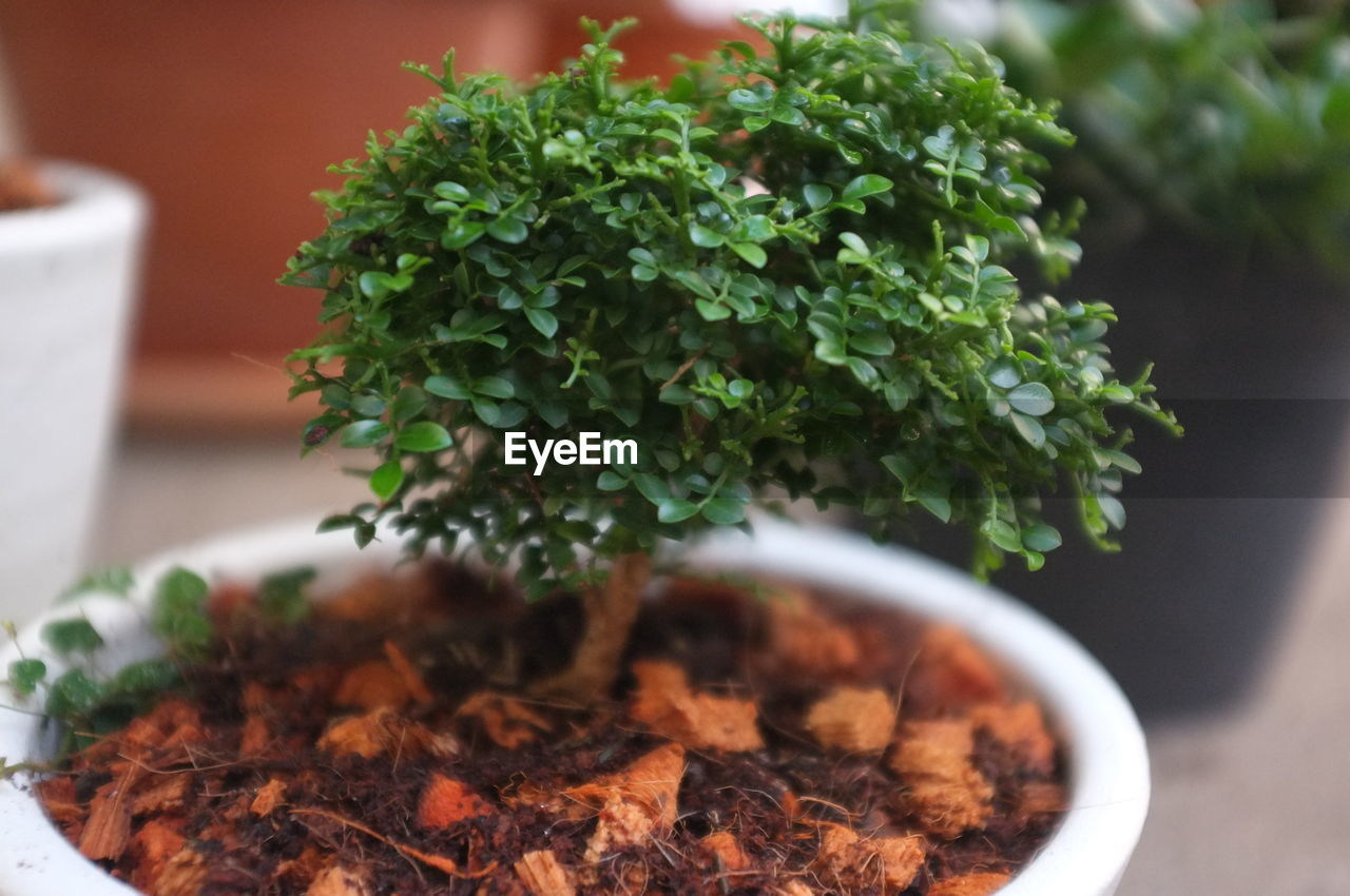 potted plant, green color, close-up, indoors, freshness, growth, leaf, plant part, plant, no people, nature, food and drink, selective focus, food, beauty in nature, table, day, focus on foreground, high angle view, herb, flower pot, houseplant