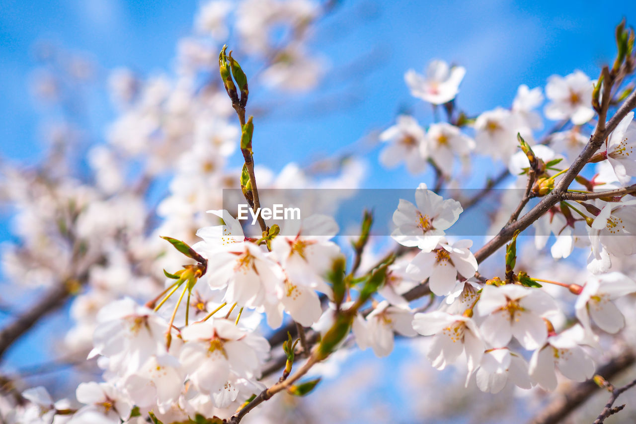 flowering plant, flower, plant, fragility, vulnerability, growth, freshness, beauty in nature, branch, close-up, tree, petal, selective focus, springtime, blossom, day, nature, no people, white color, low angle view, flower head, pollen, cherry blossom, outdoors, cherry tree, spring