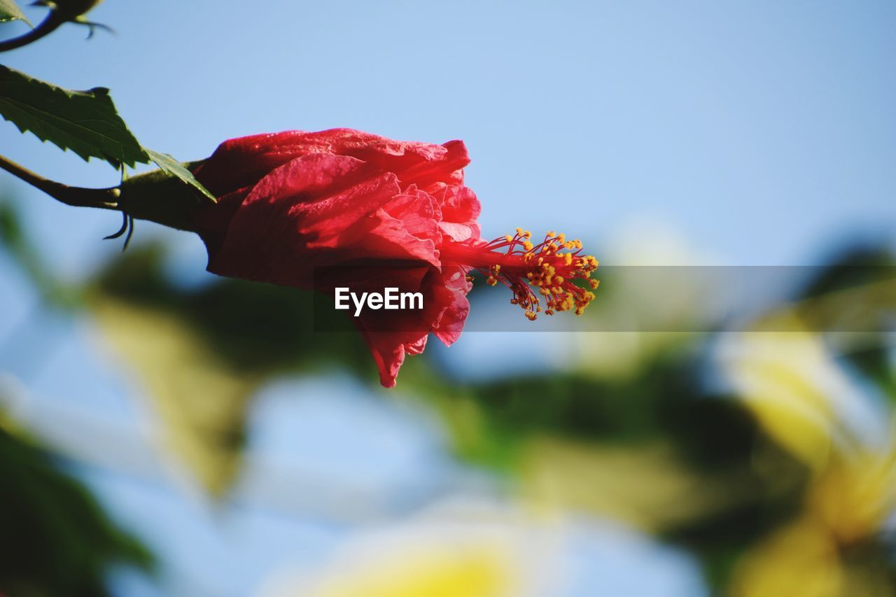 flower, red, fragility, petal, beauty in nature, nature, flower head, growth, freshness, plant, no people, outdoors, hibiscus, day, blooming, close-up, leaf, poppy, sky