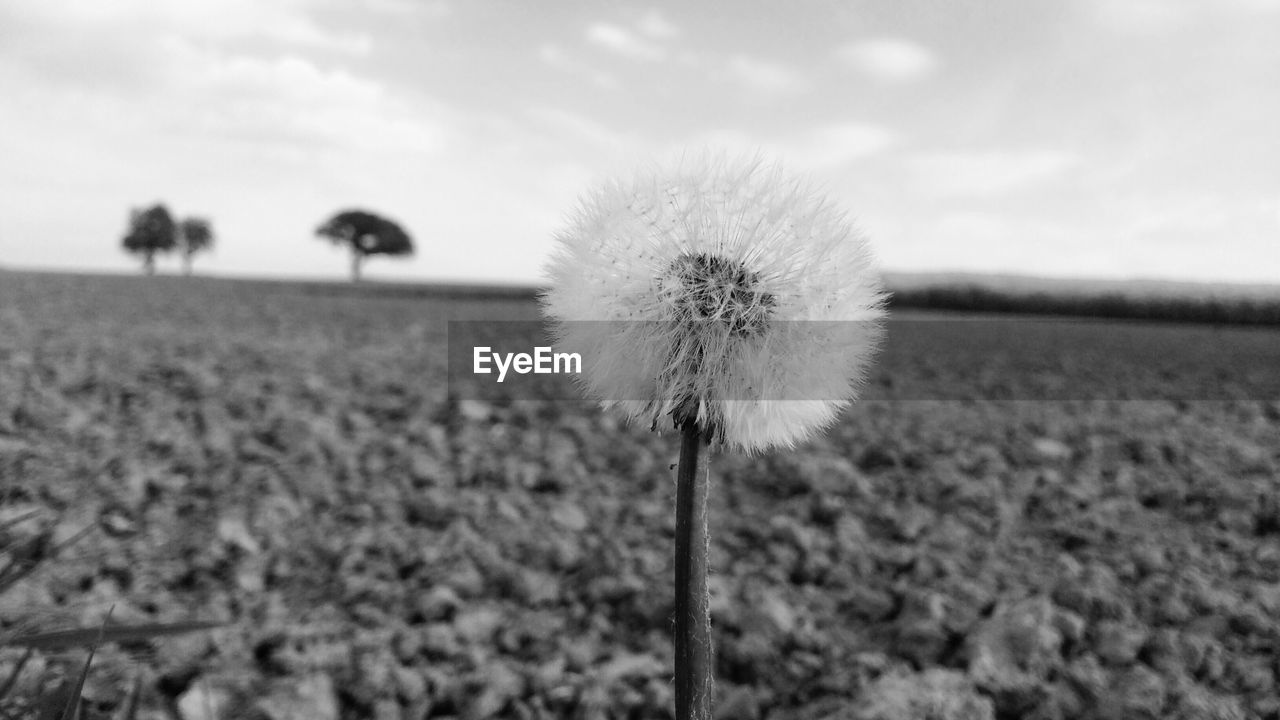 nature, growth, flower, fragility, beauty in nature, dandelion, field, plant, focus on foreground, day, flower head, freshness, outdoors, tranquility, sky, close-up, no people