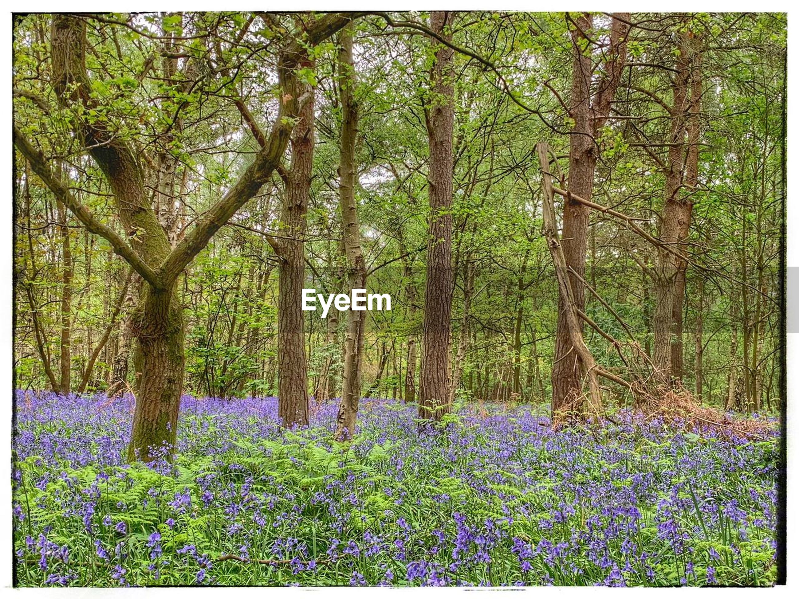 plant, growth, tree, flower, land, flowering plant, beauty in nature, forest, tranquility, nature, auto post production filter, transfer print, trunk, tree trunk, day, no people, tranquil scene, freshness, woodland, outdoors, purple, flowerbed, spring