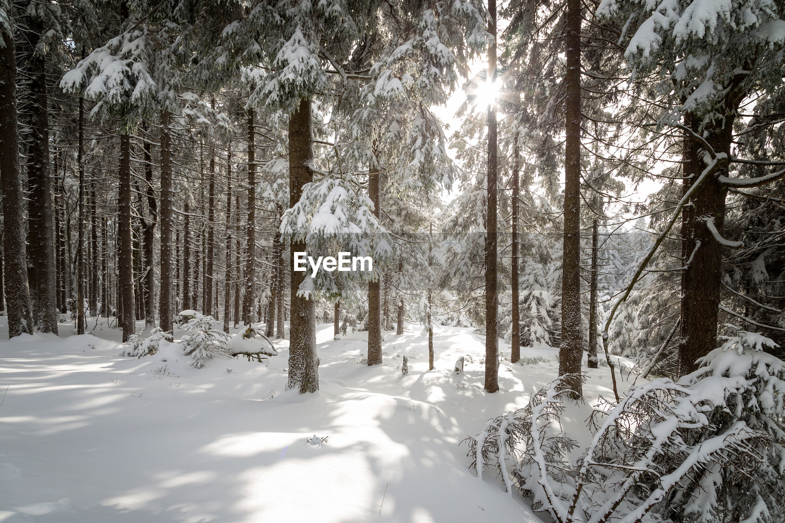 TREES IN WINTER FOREST