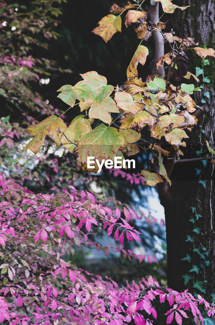 plant, beauty in nature, plant part, growth, leaf, flowering plant, flower, nature, focus on foreground, day, vulnerability, close-up, no people, fragility, pink color, freshness, outdoors, tree, autumn, tranquility, purple