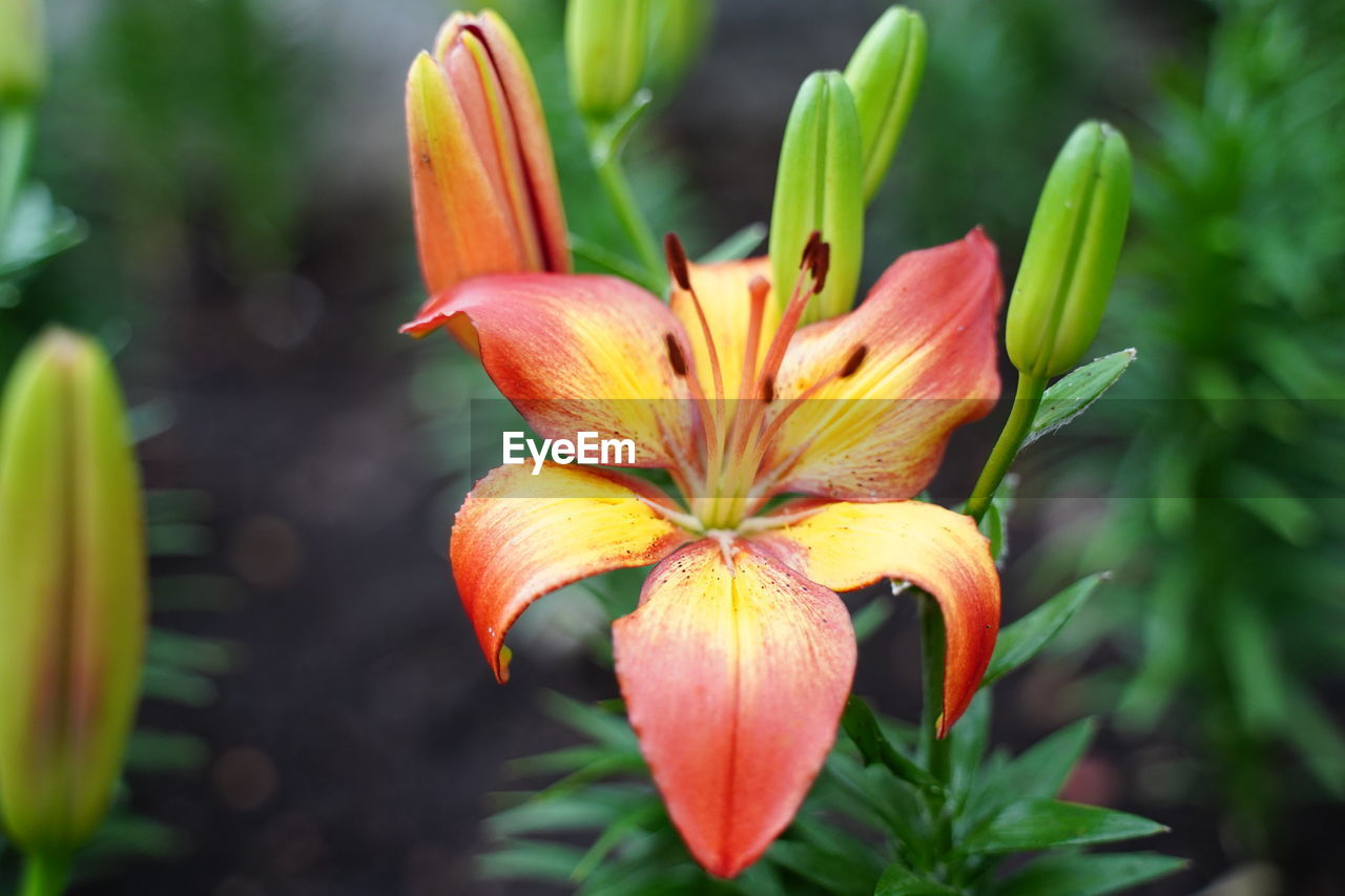 flowering plant, flower, fragility, vulnerability, freshness, petal, plant, beauty in nature, flower head, inflorescence, growth, close-up, focus on foreground, lily, botany, orange color, no people, pollen, day, nature
