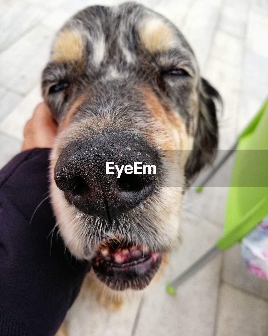 one animal, mammal, domestic, canine, pets, dog, domestic animals, close-up, vertebrate, animal body part, looking at camera, portrait, people, focus on foreground, day, indoors, animal nose, mouth open, snout, animal mouth