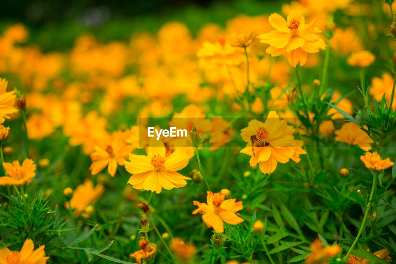 flowering plant, flower, freshness, fragility, vulnerability, plant, beauty in nature, growth, petal, flower head, yellow, inflorescence, close-up, nature, land, field, orange color, selective focus, day, no people, outdoors, pollen