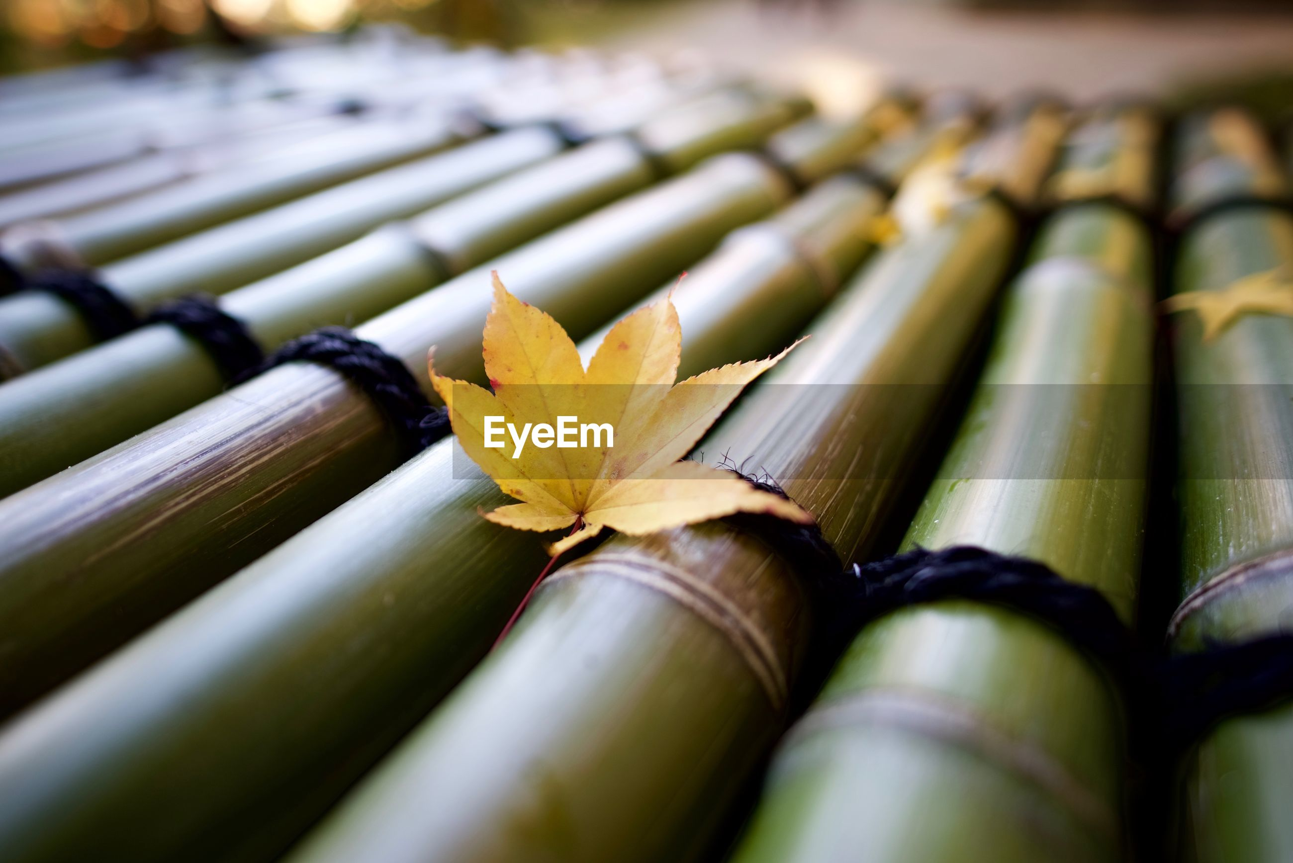 Close-up of leaf on bamboos