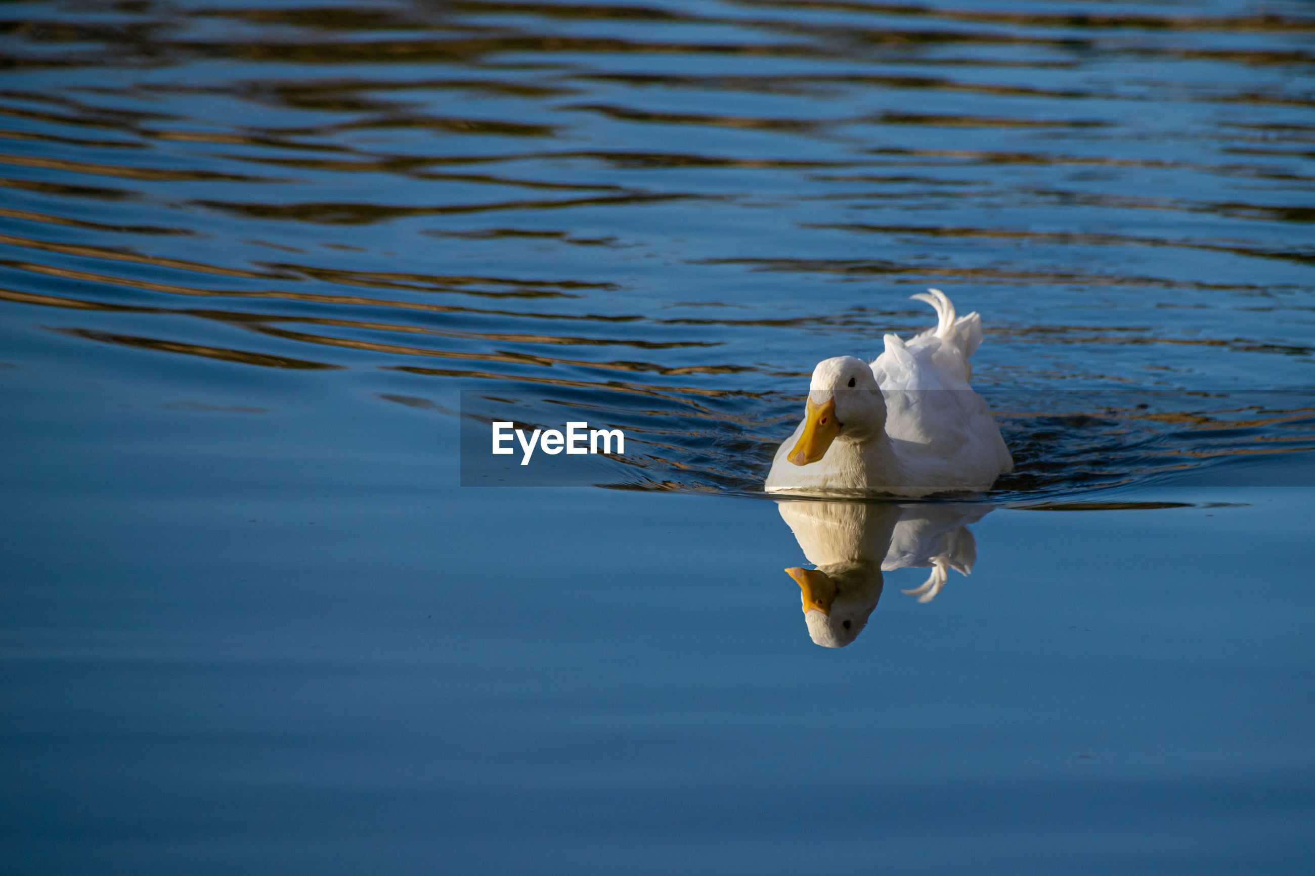 White pekin ducks swimming on a still calm lake with water reflection