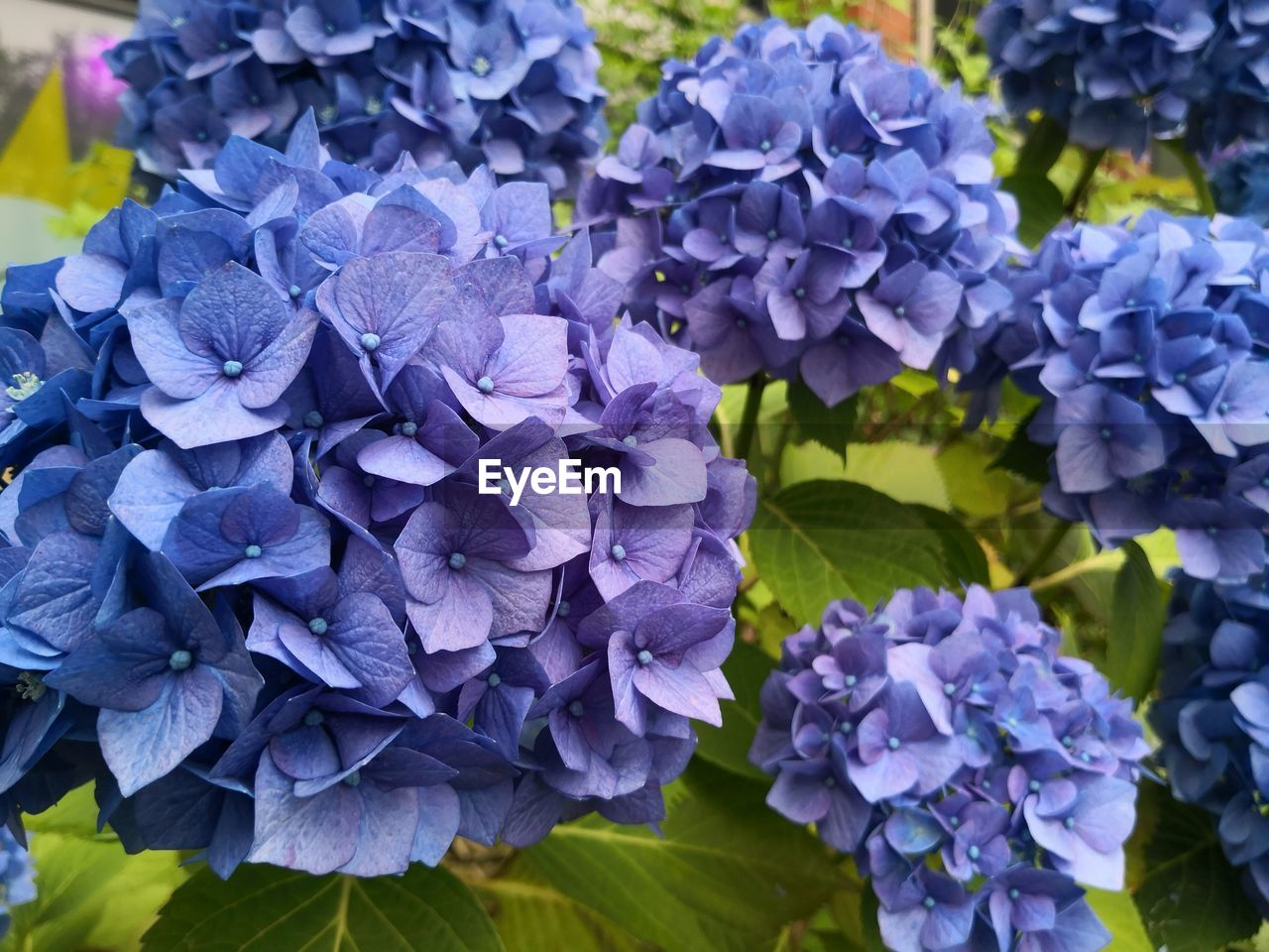 flowering plant, flower, purple, vulnerability, beauty in nature, fragility, petal, plant, hydrangea, close-up, inflorescence, flower head, freshness, nature, growth, day, no people, outdoors, blue, bunch of flowers, lilac, springtime