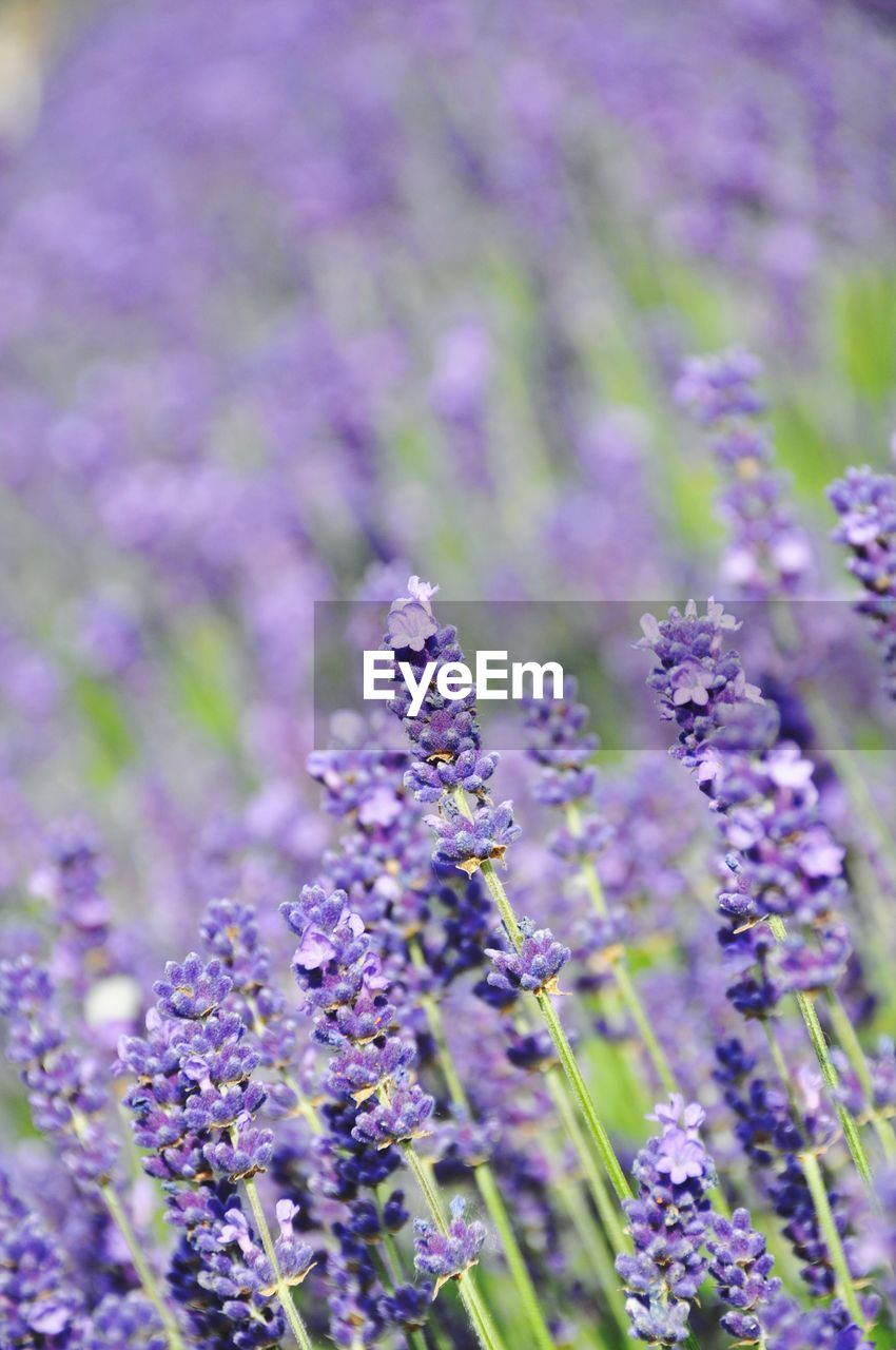 nature, growth, flower, fragility, purple, beauty in nature, plant, selective focus, close-up, no people, field, day, freshness, outdoors