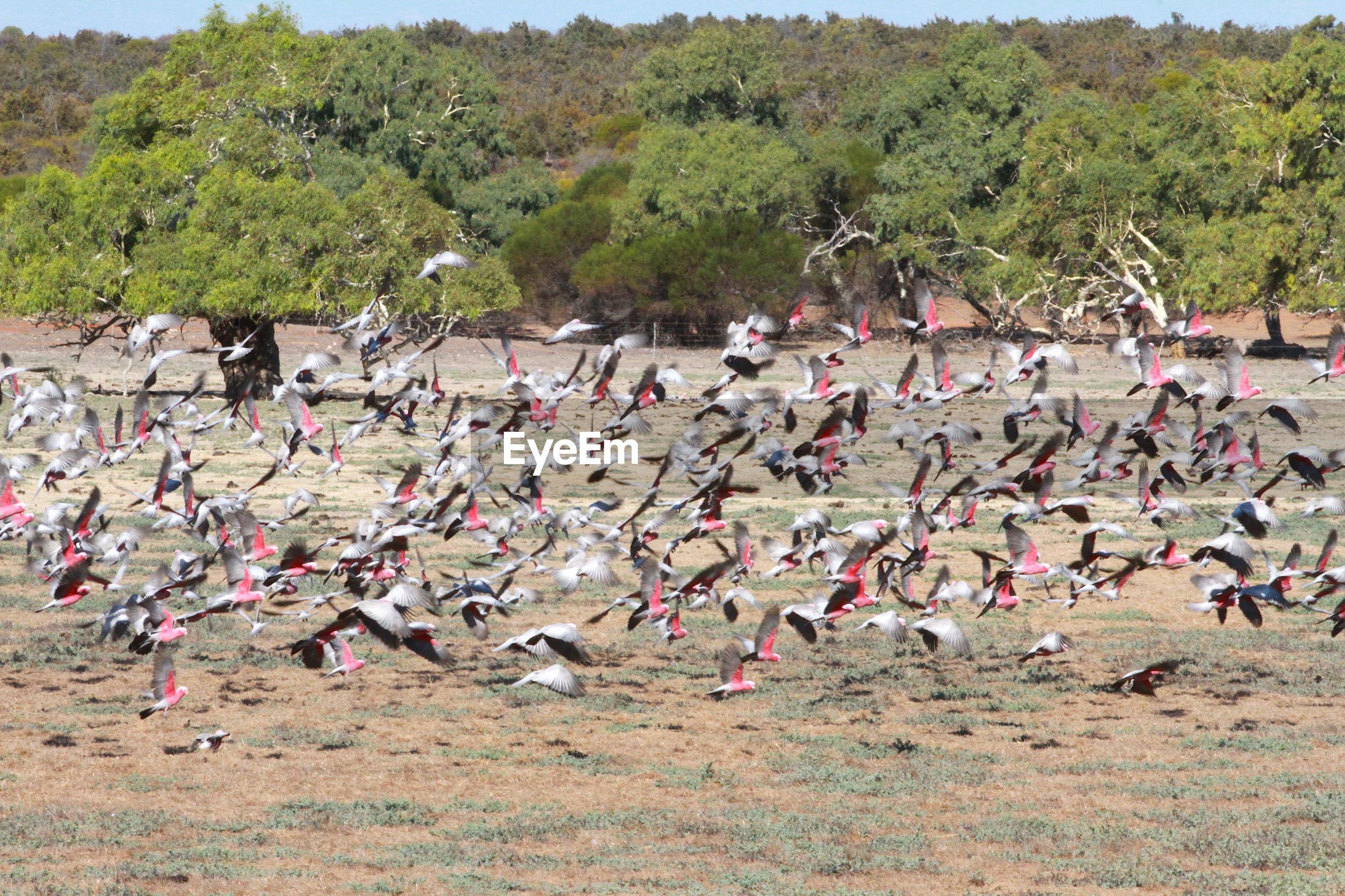 FLOCK OF BIRDS FLYING OVER TREES