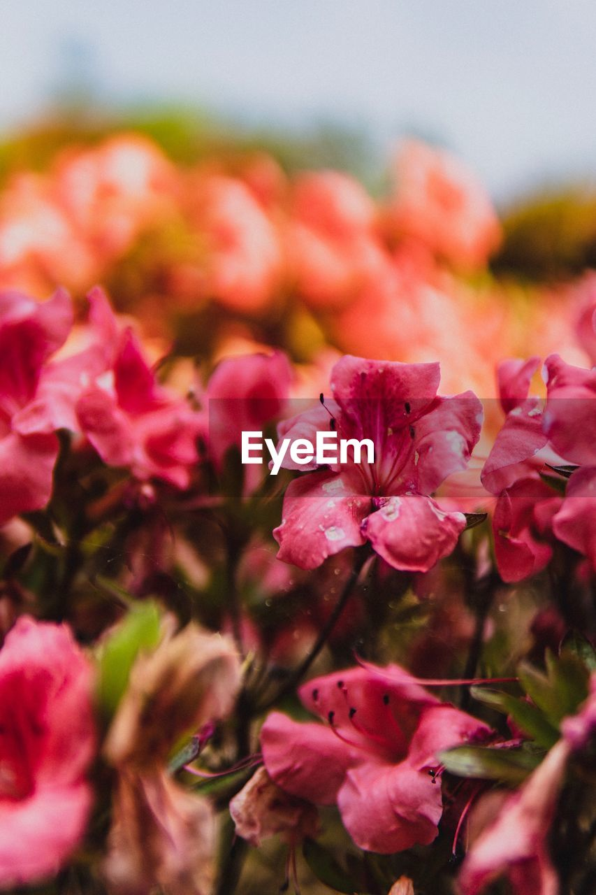 flowering plant, flower, vulnerability, fragility, beauty in nature, close-up, petal, freshness, plant, growth, selective focus, pink color, flower head, inflorescence, no people, nature, day, outdoors, focus on foreground, botany, bunch of flowers