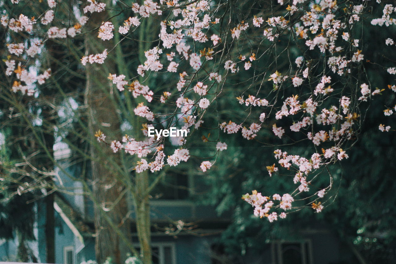growth, plant, flowering plant, fragility, beauty in nature, vulnerability, flower, freshness, nature, day, no people, close-up, focus on foreground, outdoors, petal, flower head, inflorescence, plant part, tree, leaf, cherry blossom