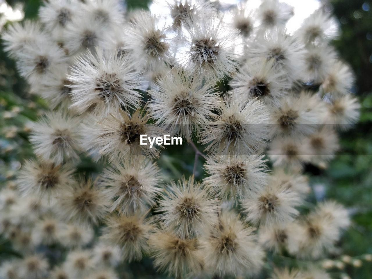 flower, plant, beauty in nature, flowering plant, growth, nature, fragility, close-up, vulnerability, no people, freshness, day, flower head, inflorescence, backgrounds, white color, full frame, cactus, outdoors, botany, dandelion seed