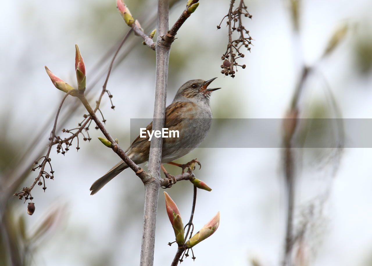 animal, bird, vertebrate, one animal, animal wildlife, animal themes, perching, animals in the wild, plant, branch, tree, day, selective focus, focus on foreground, nature, no people, sparrow, close-up, beauty in nature, outdoors