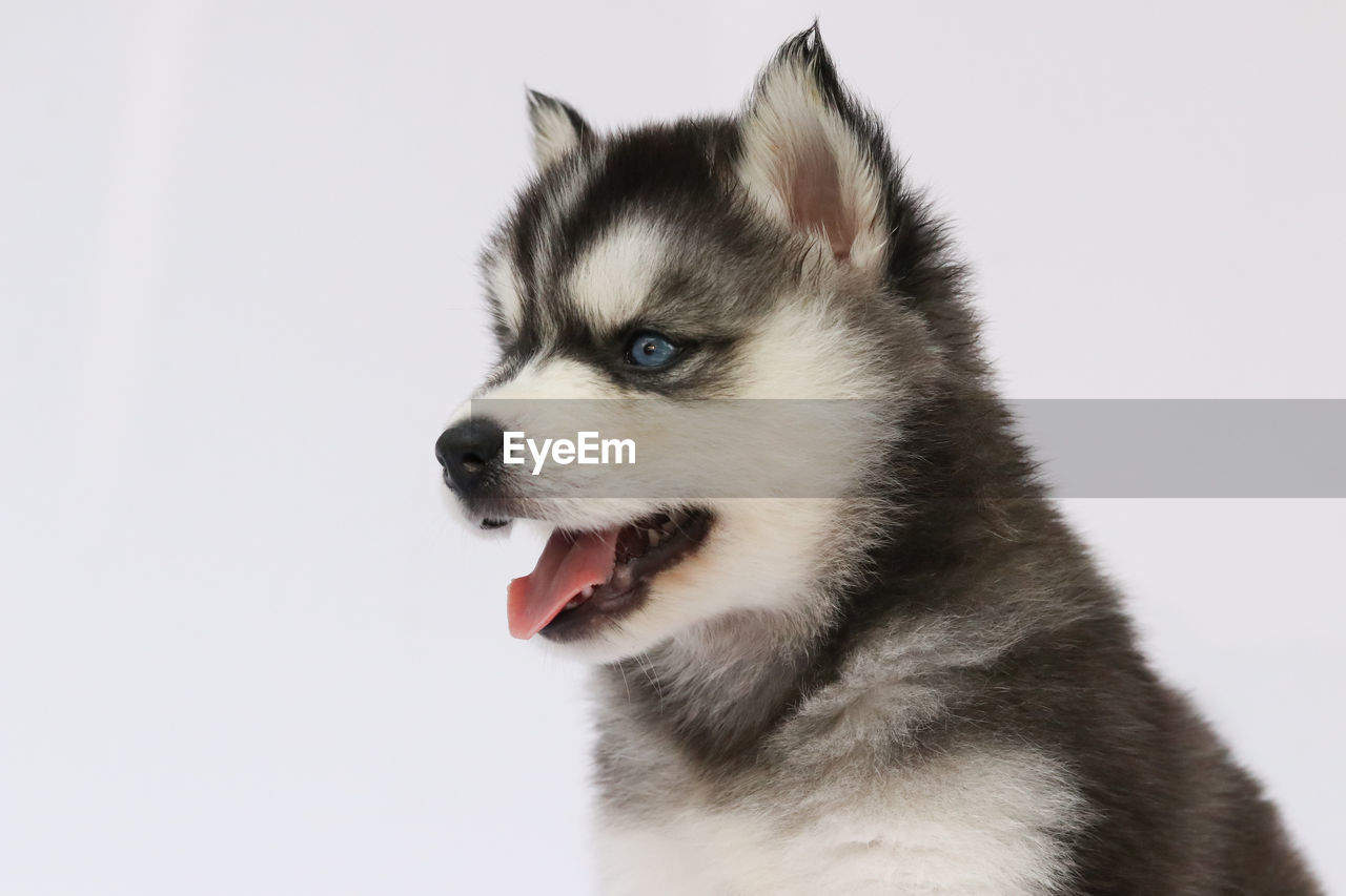 one animal, animal, pets, mammal, domestic, animal themes, vertebrate, domestic animals, sled dog, dog, canine, siberian husky, studio shot, white background, close-up, looking away, looking, no people, indoors, animal body part, mouth open, animal tongue, animal head