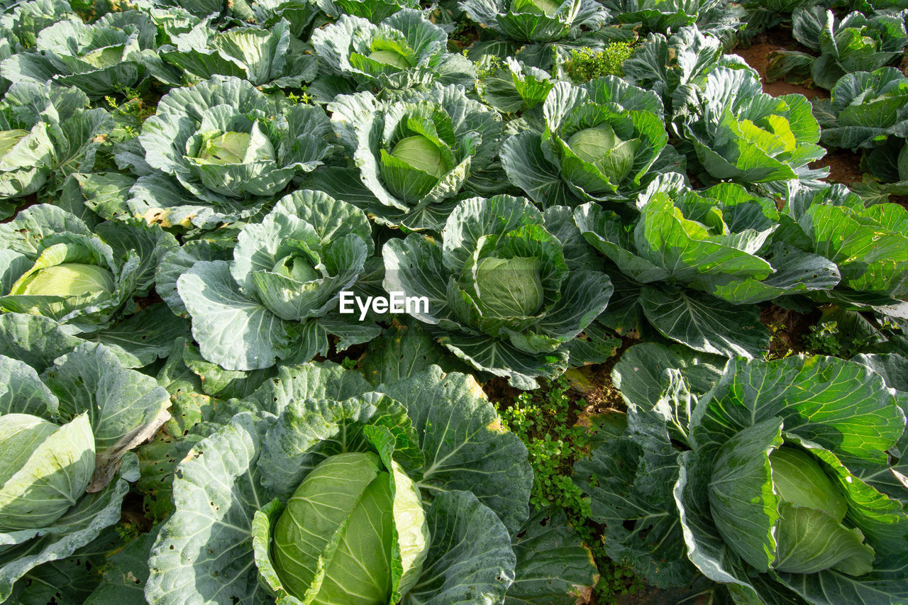 High angle view of cabbages growing at farm