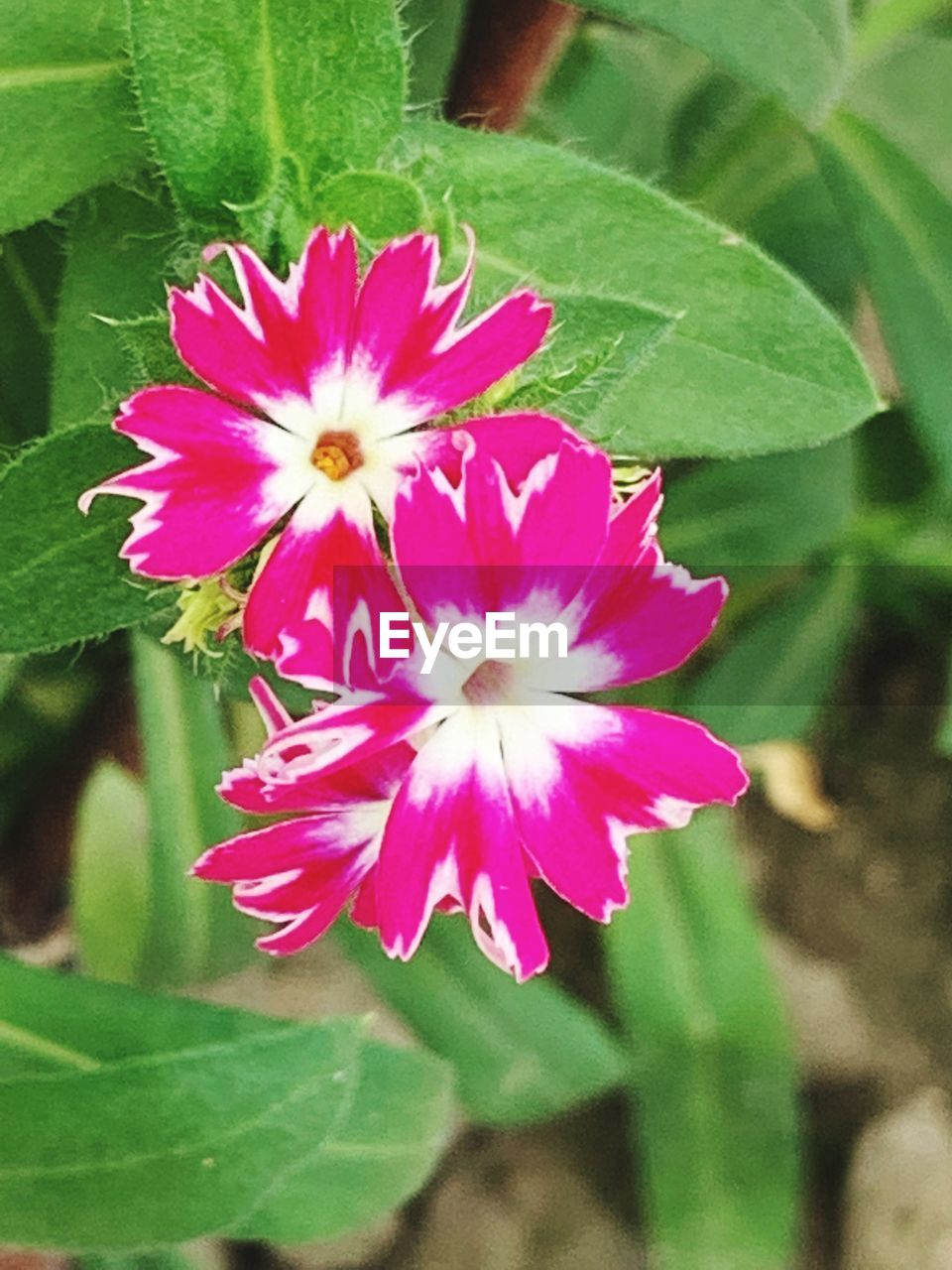 flower, flowering plant, plant, vulnerability, beauty in nature, fragility, petal, freshness, plant part, inflorescence, close-up, leaf, growth, flower head, pink color, nature, day, no people, green color, outdoors, pollen, purple