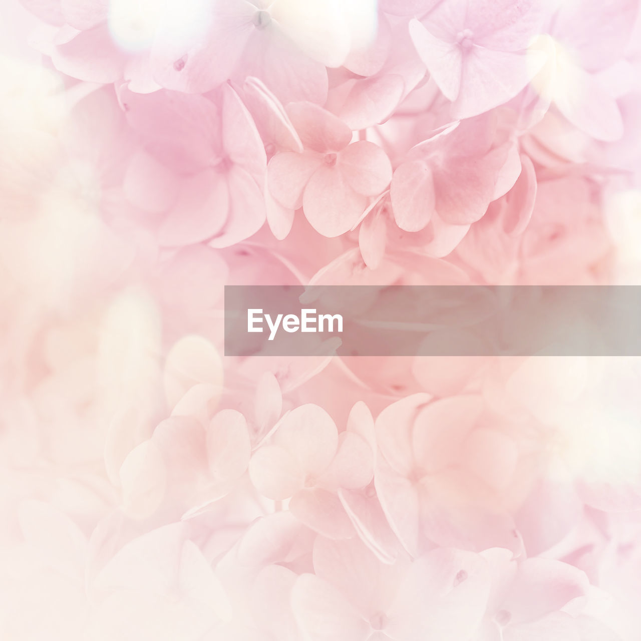 flowering plant, flower, pink color, plant, beauty in nature, fragility, vulnerability, freshness, close-up, petal, inflorescence, flower head, nature, growth, no people, backgrounds, selective focus, full frame, day, blossom, springtime, softness, bunch of flowers, cherry blossom