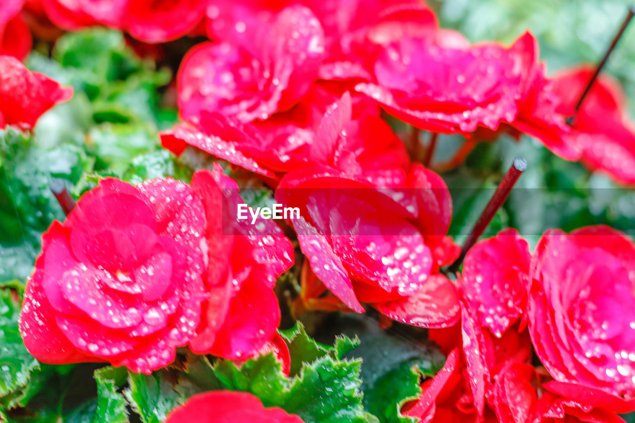 red, nature, beauty in nature, growth, petal, flower, fragility, plant, leaf, close-up, drop, wet, no people, water, outdoors, day, rose - flower, flower head, freshness, blooming
