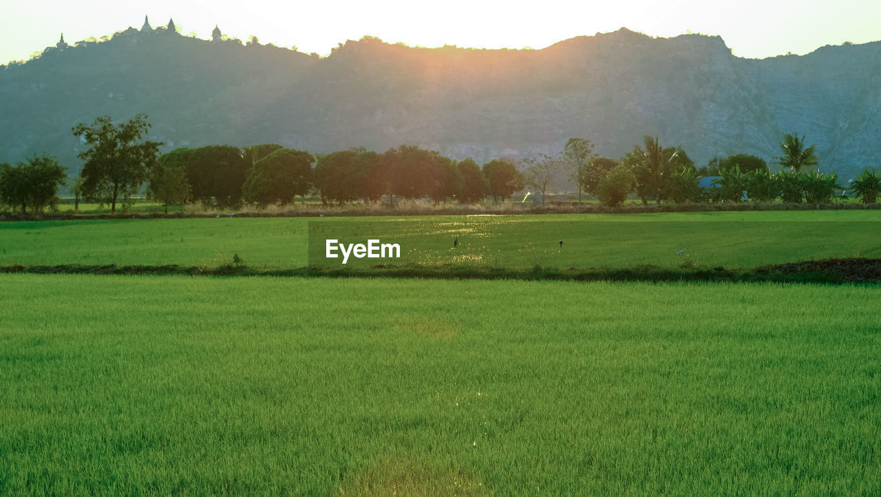 nature, field, beauty in nature, grass, tranquil scene, tree, tranquility, landscape, green color, scenics, growth, no people, agriculture, day, outdoors, mountain, rural scene, rice paddy, sky