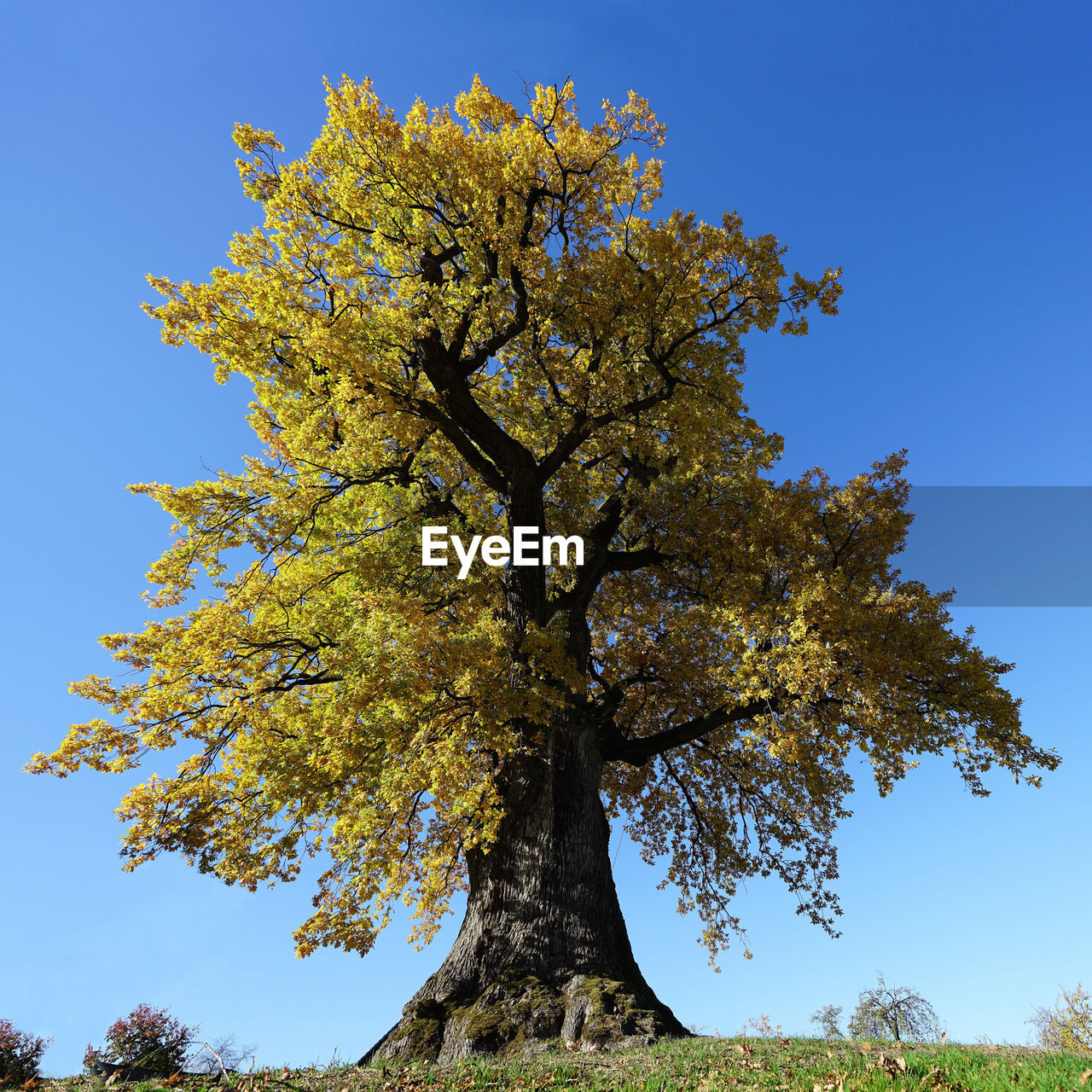 tree, plant, sky, low angle view, growth, beauty in nature, clear sky, nature, branch, autumn, no people, day, tranquility, outdoors, change, tree trunk, blue, trunk, sunlight, leaf