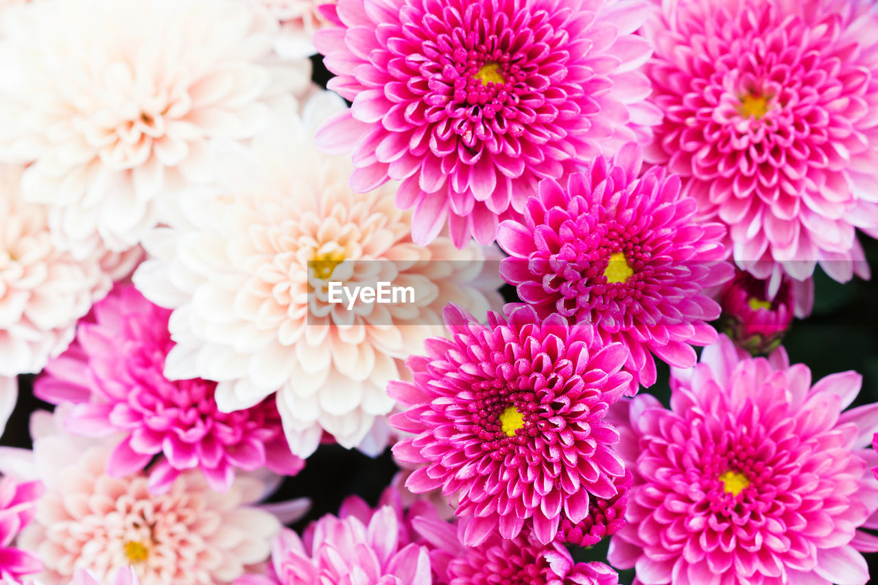 flowering plant, flower, fragility, petal, freshness, vulnerability, flower head, plant, inflorescence, pink color, beauty in nature, close-up, growth, nature, no people, chrysanthemum, dahlia, focus on foreground, day, outdoors, pollen, flower arrangement