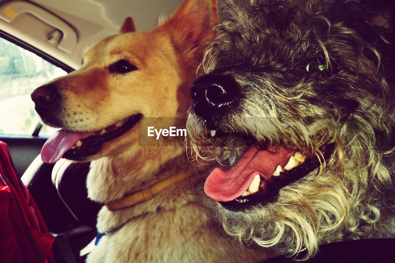 Close-up of two dogs in car