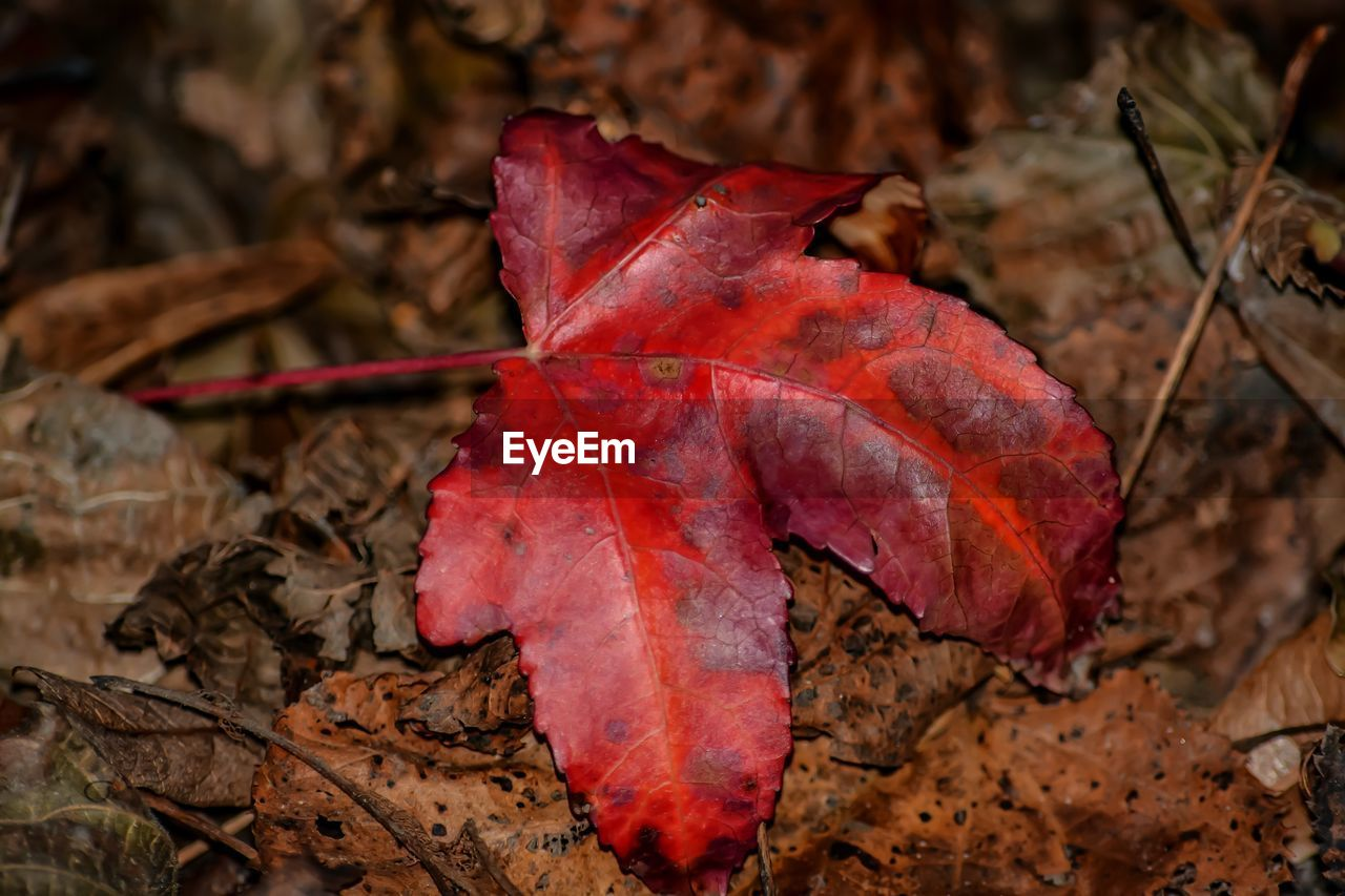 autumn, leaf, change, dry, maple leaf, maple, nature, day, red, fallen, outdoors, beauty in nature, close-up, no people, fragility