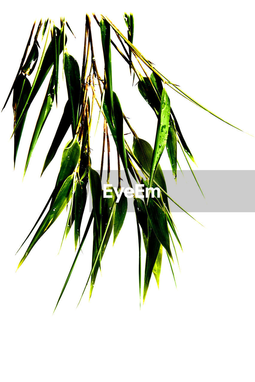 Close-up of wet plants against white background