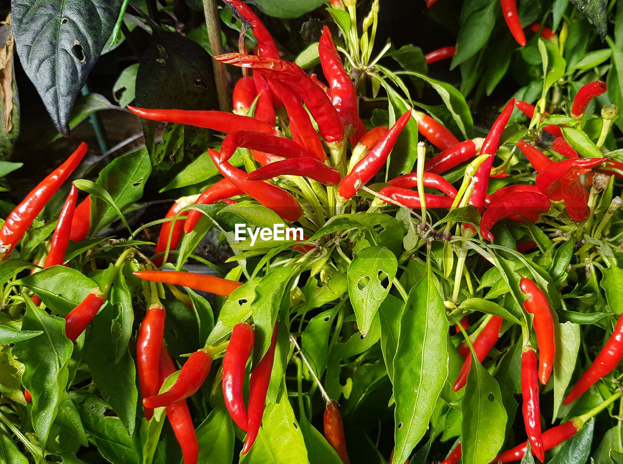 red, chili pepper, freshness, green color, pepper, vegetable, food and drink, spice, red chili pepper, food, close-up, growth, no people, plant, nature, plant part, wellbeing, chili, beauty in nature, day