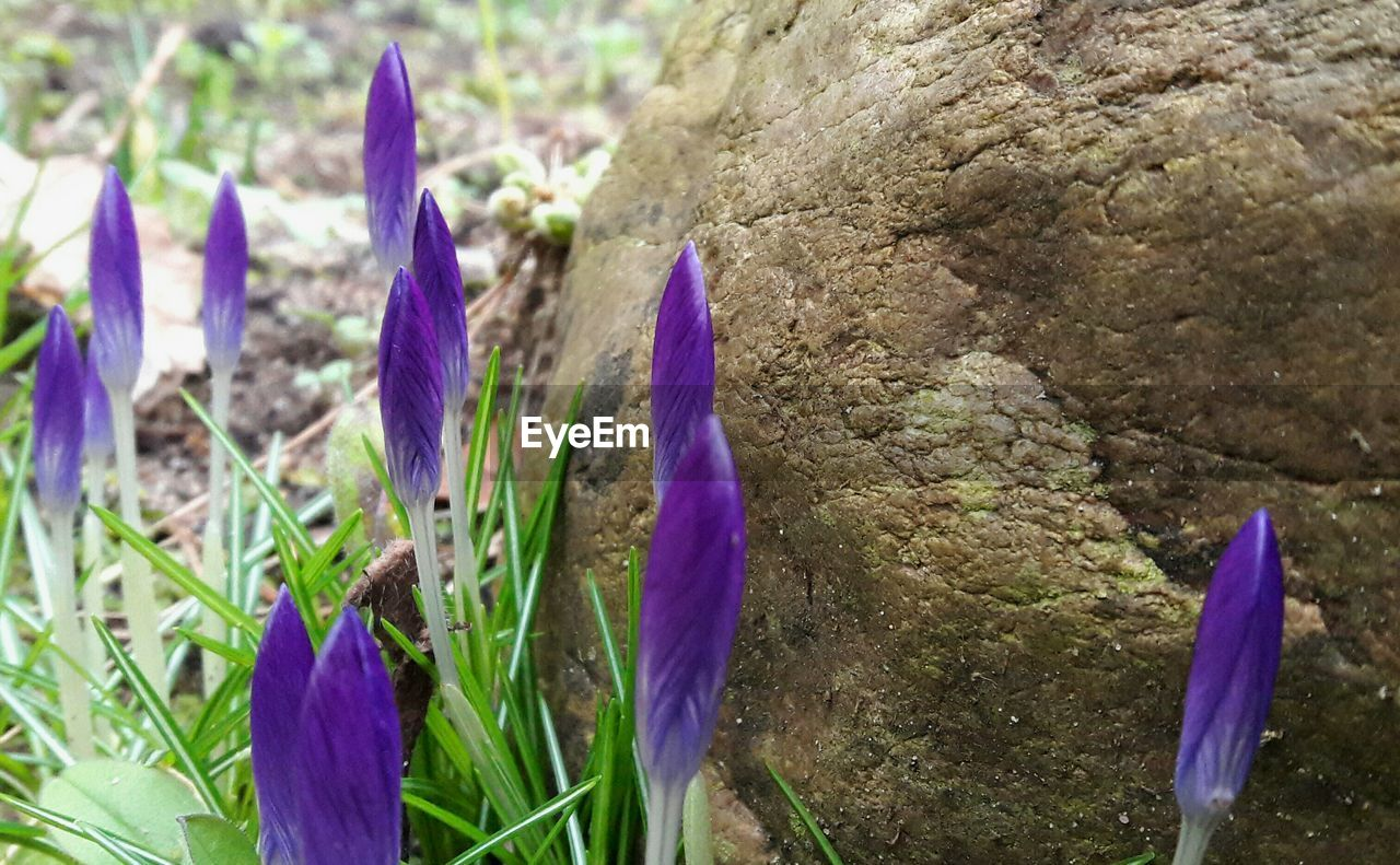 flower, purple, growth, petal, beauty in nature, nature, fragility, freshness, plant, crocus, flower head, no people, outdoors, day, close-up, blooming, springtime, water