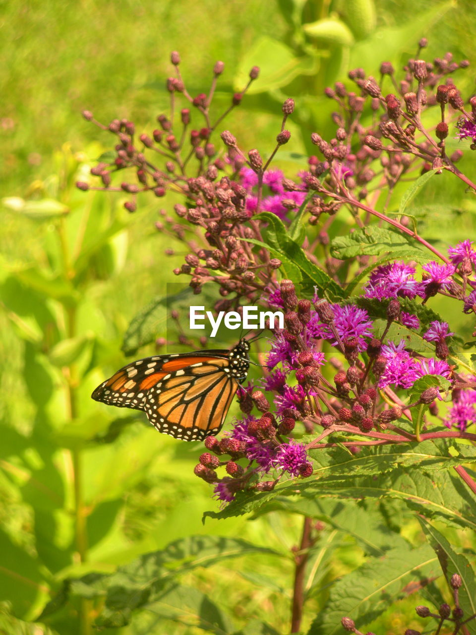 flower, flowering plant, animal wing, butterfly - insect, beauty in nature, animal themes, one animal, animal, plant, invertebrate, insect, animal wildlife, animals in the wild, growth, freshness, fragility, nature, vulnerability, close-up, pollination, flower head, no people, purple, outdoors, butterfly