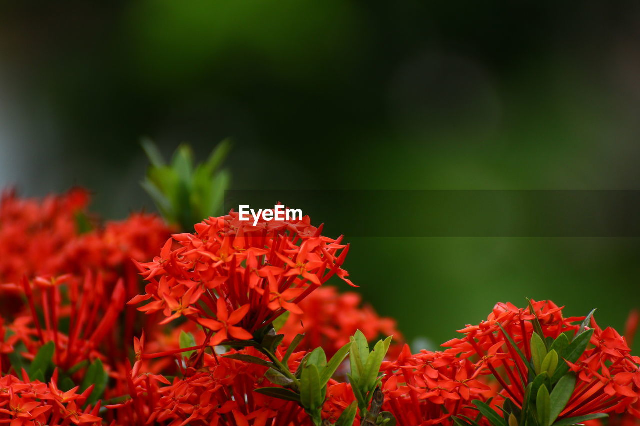 growth, beauty in nature, red, nature, flower, plant, ixora, fragility, freshness, no people, petal, outdoors, day, leaf, blooming, flower head, close-up