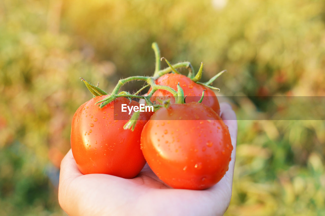 Cropped Hand Of Person Holding Wet Red Tomatoes At Farm