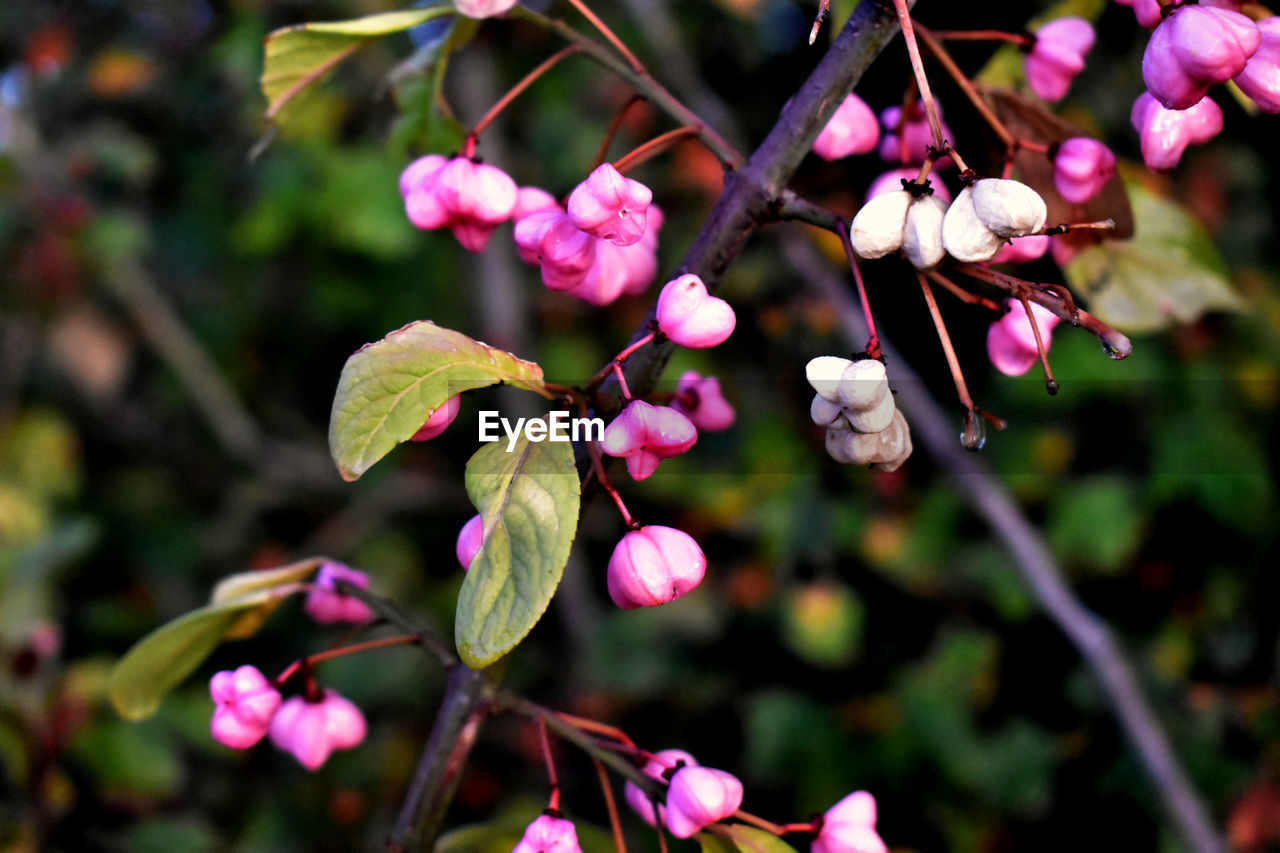 plant, flower, flowering plant, growth, freshness, beauty in nature, fragility, vulnerability, close-up, petal, pink color, focus on foreground, tree, nature, no people, day, flower head, inflorescence, branch, blossom, outdoors, springtime, spring
