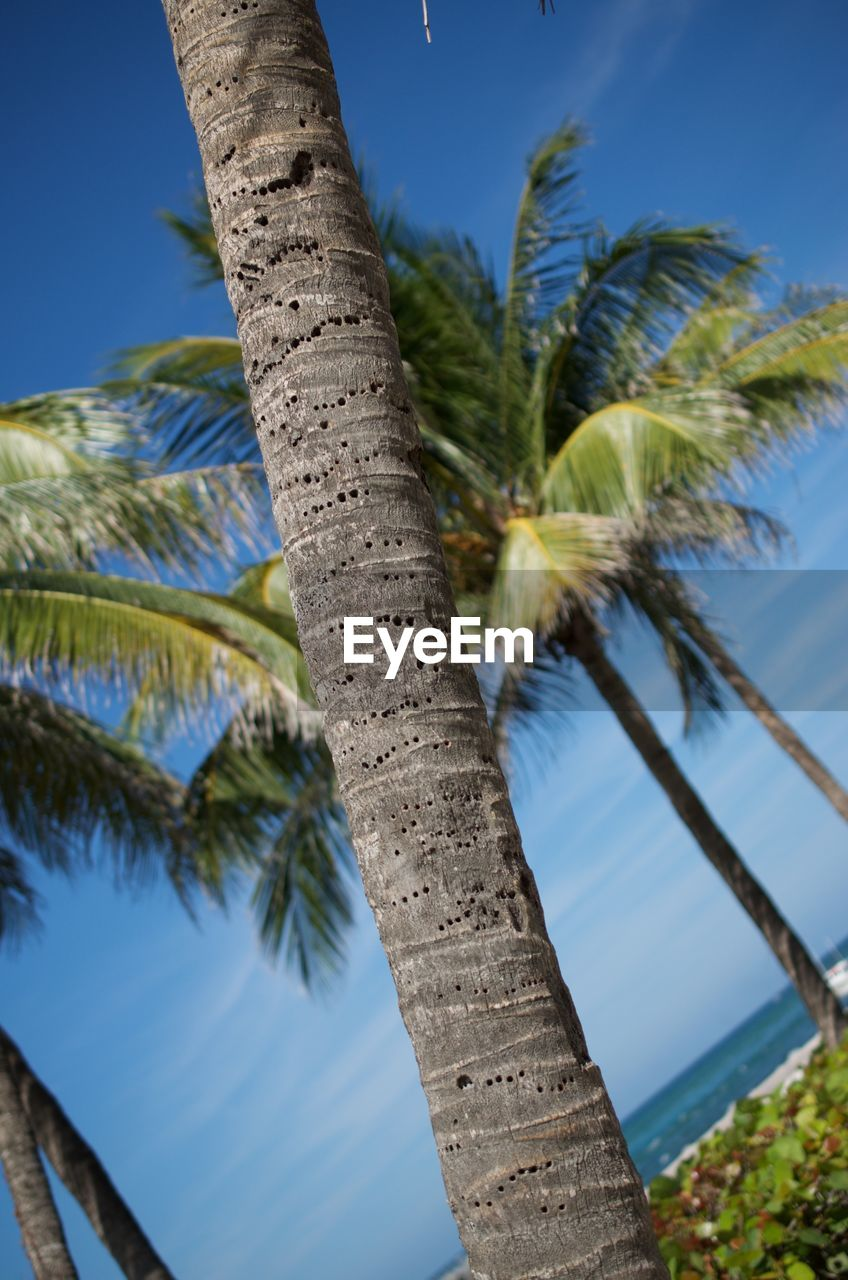 palm tree, tree, tree trunk, nature, sky, blue, outdoors, beauty in nature, low angle view, growth, day, no people, scenics, leaf, plant, water, clear sky, close-up