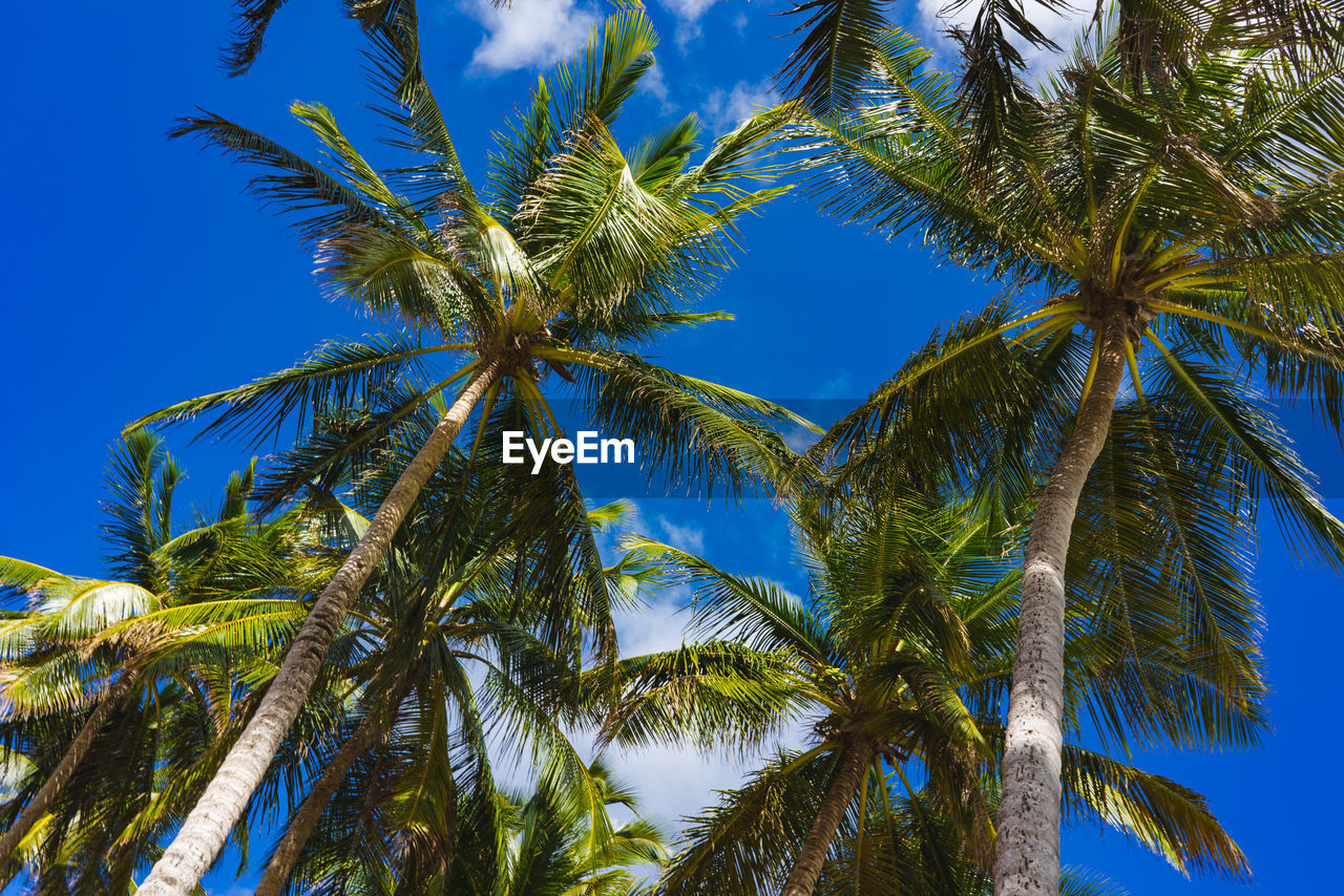 tree, plant, palm tree, sky, tropical climate, growth, low angle view, trunk, tree trunk, no people, beauty in nature, blue, green color, tranquility, tall - high, nature, coconut palm tree, day, clear sky, outdoors, tropical tree, palm leaf