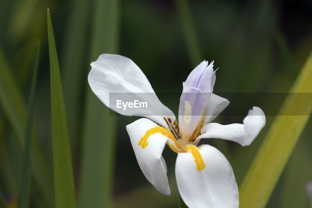 Close-Up Of White Iris Blooming Outdoors