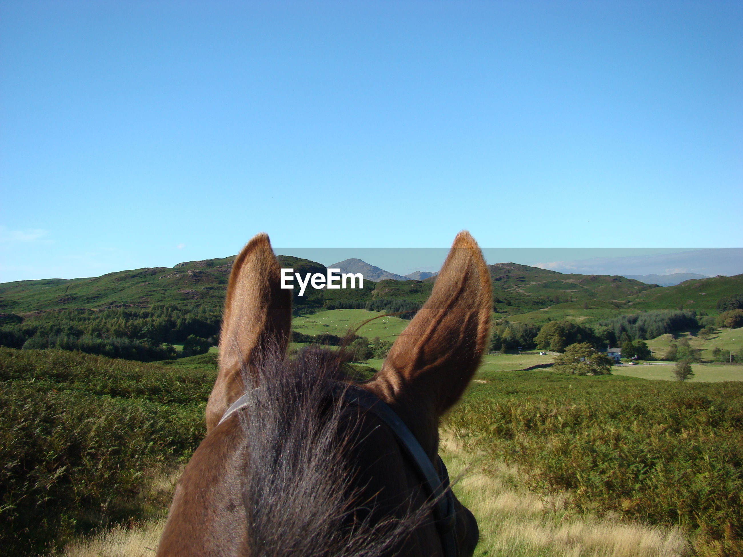 High section of horse on field against clear blue sky