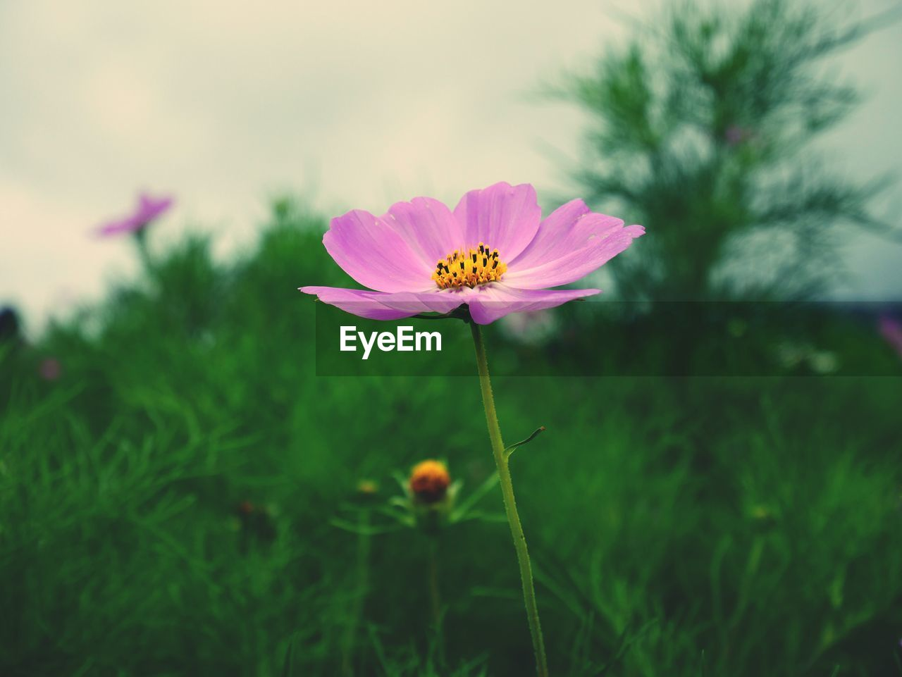 flowering plant, freshness, fragility, flower, plant, vulnerability, petal, beauty in nature, flower head, inflorescence, growth, close-up, cosmos flower, focus on foreground, nature, pink color, pollen, plant stem, no people, outdoors, sepal