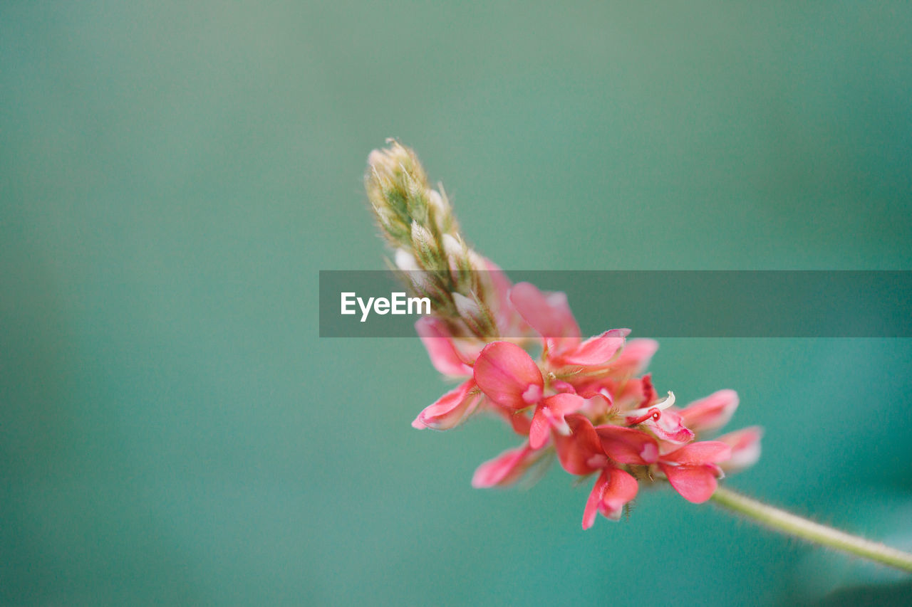 CLOSE-UP OF PINK CHERRY BLOSSOM ON PLANT